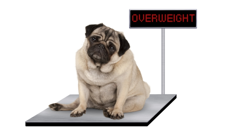 Obesity: a bone to pick with pet owners
